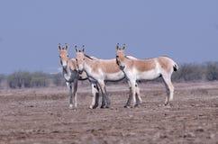 Wilde ezel royalty-vrije stock afbeeldingen