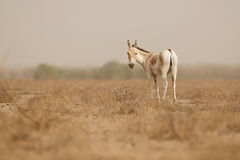 Wilde ezel in de woestijn weinig rann van kutch Stock Fotografie