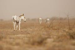Wilde ezel in de woestijn weinig rann van kutch Royalty-vrije Stock Foto's