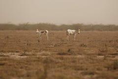 Wilde ezel in de woestijn weinig rann van kutch Royalty-vrije Stock Foto