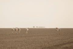 Wilde ezel in de woestijn weinig rann van kutch Royalty-vrije Stock Afbeelding
