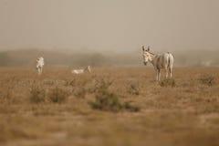 Wilde ezel in de woestijn weinig rann van kutch Royalty-vrije Stock Fotografie