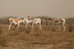 Wilde ezel in de woestijn weinig rann van kutch Stock Afbeeldingen