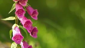 Wilde Fingerhut-Blumen stock video