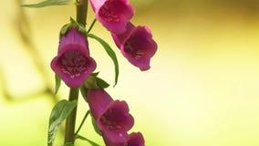 Wilde Fingerhut-Blumen stock footage