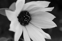 Wilde Flussschwarzweiss-blume stockfotografie