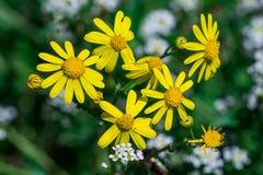 Wilde Frühlingsgelb-Blumenanlage - Cressleaf - Packera Glabella lizenzfreies stockbild