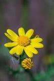 Wilde Frühlingsgelb-Blumenanlage - Cressleaf - Packera Glabella lizenzfreies stockfoto