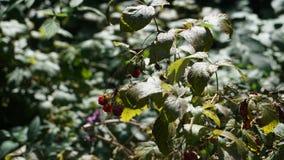 Wilde framboos in het bos Stock Afbeeldingen