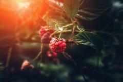 Wilde framboos op tak in aard bos, macroschot met selectieve nadruk, zonlicht en gestemd royalty-vrije stock fotografie