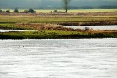 Wilde Gänse durch den Fluss Stockbilder