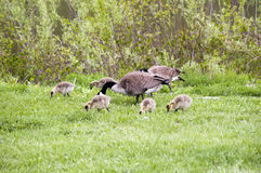 Wilde Gänse in Forest Preserves- und Des- Plainesfluß von Illinois USA Lizenzfreie Stockfotos