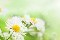 Wilde Gänseblümchen Stockfotos