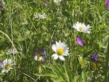 Wilde Gänseblümchen im Sommer stock video