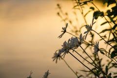 Wilde Gänseblümchen nahe bei See im Sommer Lizenzfreie Stockfotografie