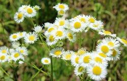 Wilde Gänseblümchen, viele unscharfen Blumen auf dem Gebiet, Kamille Lizenzfreies Stockfoto