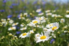 Wilde Gänseblümchen, viele unscharfen Blumen auf dem Gebiet, Kamille Stockbild
