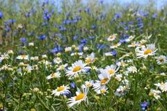 Wilde Gänseblümchen, viele unscharfen Blumen auf dem Gebiet, Kamille Lizenzfreies Stockbild