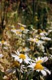 Wilde Gänseblümchen, viele unscharfen Blumen auf dem Gebiet, Kamille Stockfotos