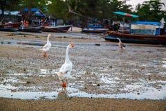 Wilde Gans auf dem Meer in Thailand lizenzfreie stockfotografie