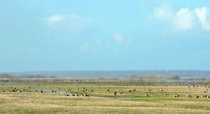 Wilde gans in vloedweide, Litouwen Royalty-vrije Stock Afbeelding