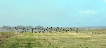 Wilde gans in vloedweide, Litouwen Stock Afbeeldingen