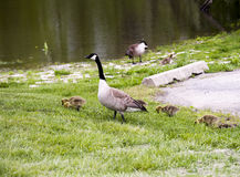 Wilde Ganzen in Forest Preserves en Des Plaines River van Illinois de V.S. stock fotografie