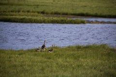 Wilde ganzenfamilie in het Noordpoolgebied Royalty-vrije Stock Foto's