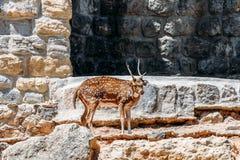 Wilde gazelle stock afbeelding