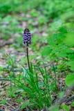 Wilde Gebirgsorchidee, die allein steht stockbild