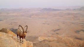 Wilde Gebirgsziege in der Wüste stock video