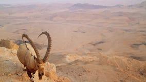Wilde Gebirgsziege in der Wüste Langsame Bewegung stock video