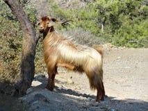 Wilde geit (Capra-aegagrus) Stock Afbeelding
