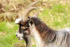 Wilde geit (Capra-aegagrushircus) Schotland Royalty-vrije Stock Foto's