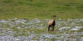 Wilde geit op Onderstel Olympus Royalty-vrije Stock Foto