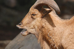 Wilde geiten Royalty-vrije Stock Foto