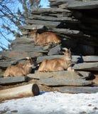 Wilde geiten Stock Foto's