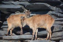 Wilde geiten Stock Afbeelding