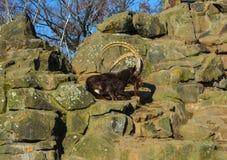Wilde geiten Royalty-vrije Stock Foto's