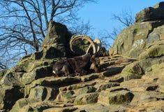 Wilde geiten Stock Fotografie