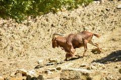 Wilde geiten Royalty-vrije Stock Fotografie