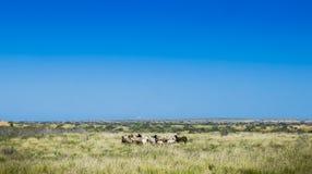 Wilde Geiten Australië Bush Stock Foto's