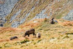 Wilde geiten in de bergen Royalty-vrije Stock Foto's