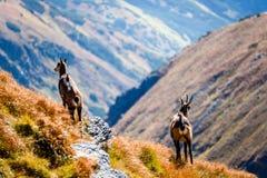 Wilde geiten in de bergen Royalty-vrije Stock Fotografie