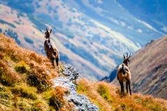 Wilde geiten in de bergen Stock Afbeeldingen