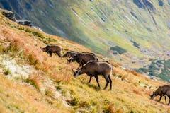 Wilde geiten in de bergen Stock Foto