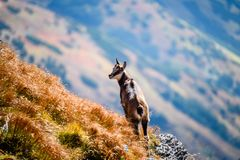 Wilde geiten in de bergen Stock Foto's
