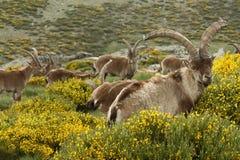 Wilde geiten die op gele bezem weiden Stock Afbeelding