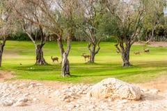 Wilde geiten in Negev Stock Foto
