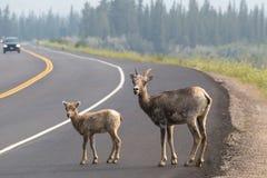 Wilde geiten op een weg Stock Fotografie